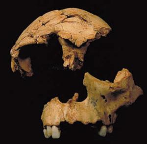 Restos fósiles craneales