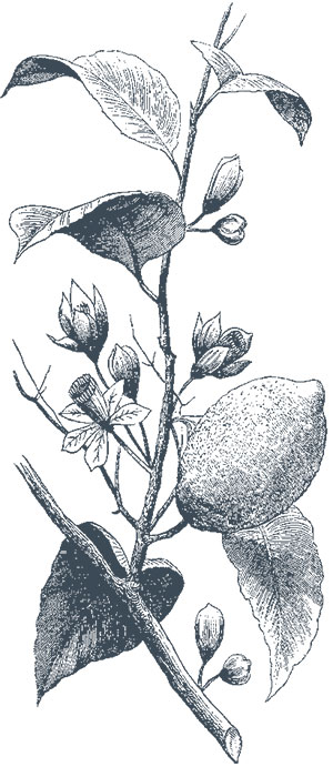 fruto-limonero