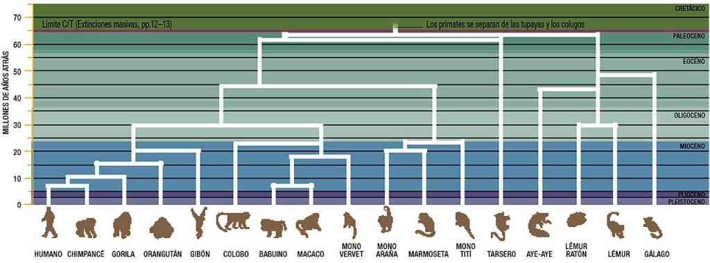 evolucion-primates