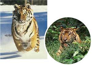 variacion-geografica-tigres