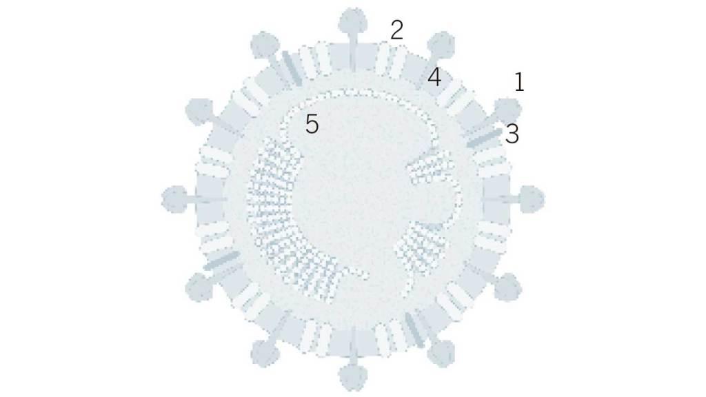 coronavirus-sras-seccion-transversal