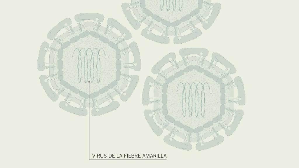 virus-fiebre-amarilla